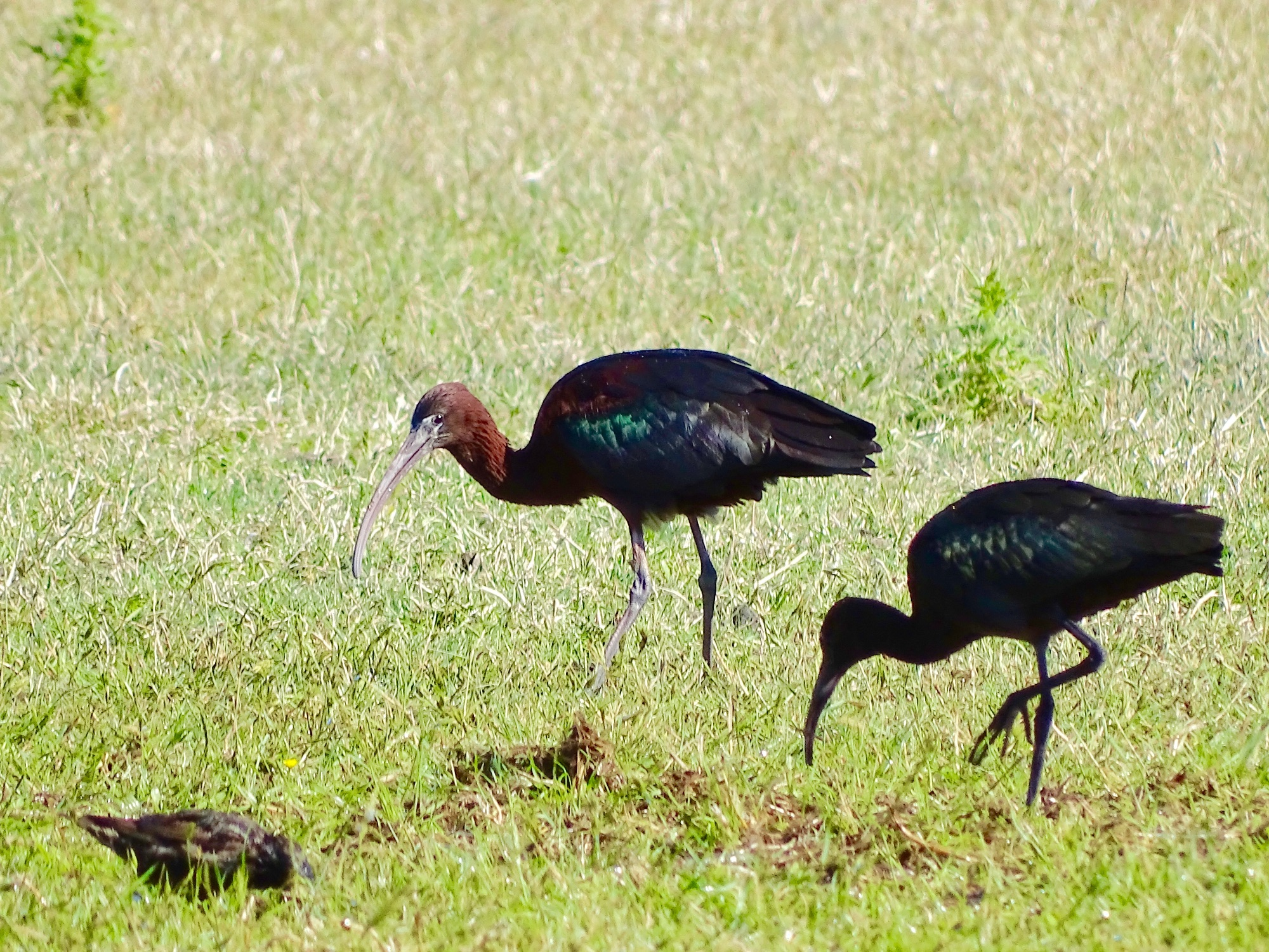 Adult Glossy Ibis and juvenile ?