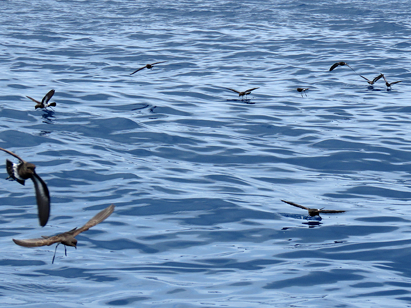NZ Storm Petrels everywhere