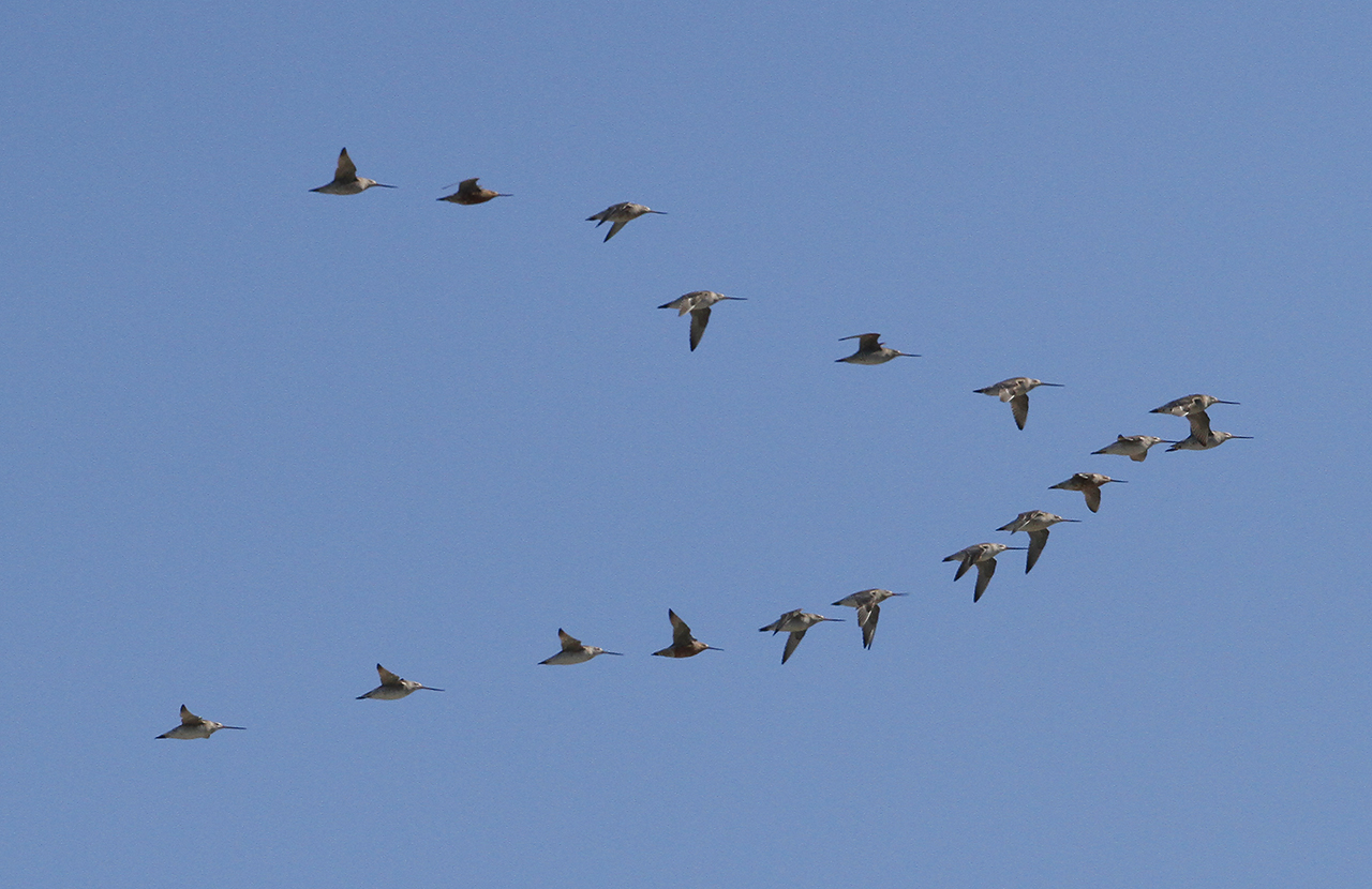 Godwits migrating, Manawatu Estuary 11/03/18