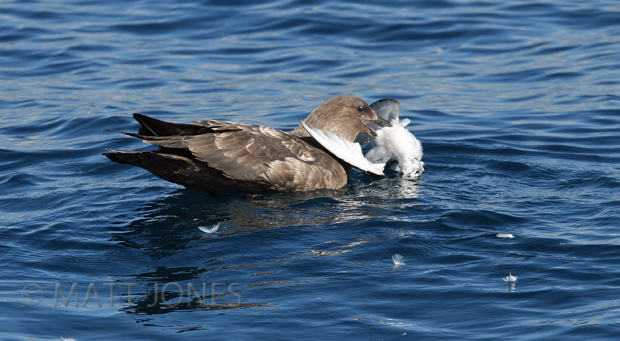 Southern Brown Skua eating Fairy Prion