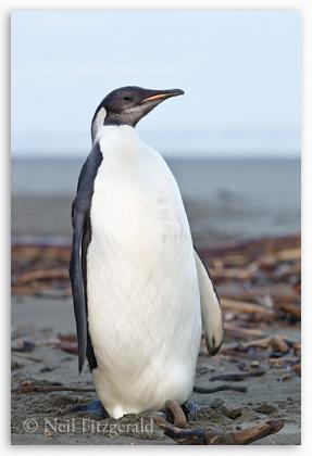 Emperor penguin, Kapiti Coast
